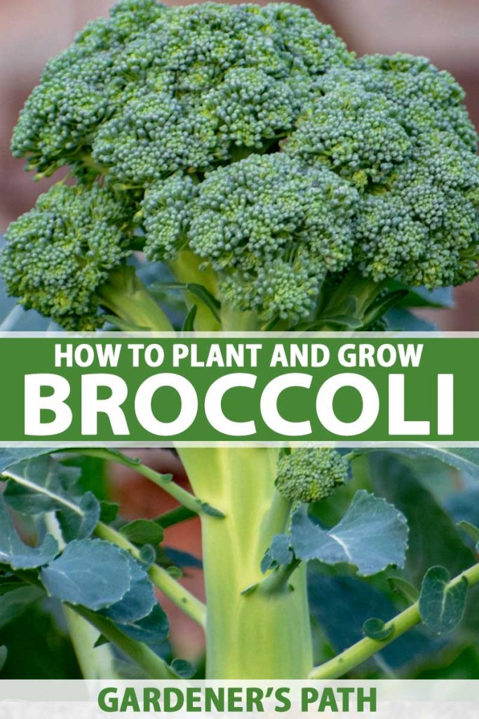 Close up of a head of broccoli growing in the garden.