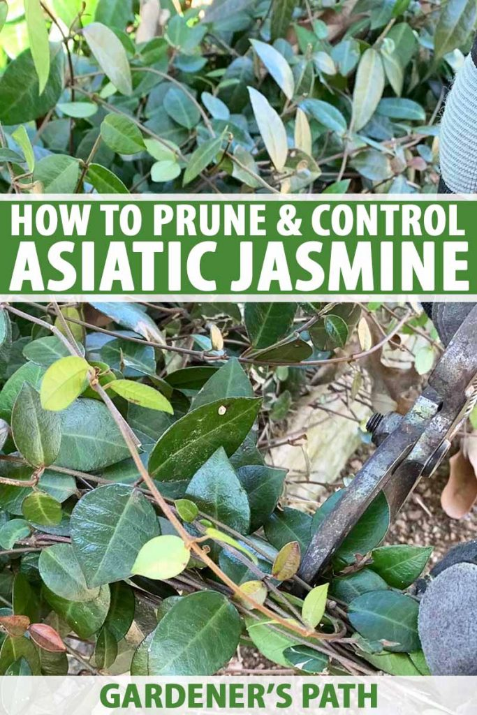 A close up of two hands holding gardening shears pruning an Asiatic jasmine plant that is growing adjacent to a pathway. To the center and bottom of the frame is green and white text.
