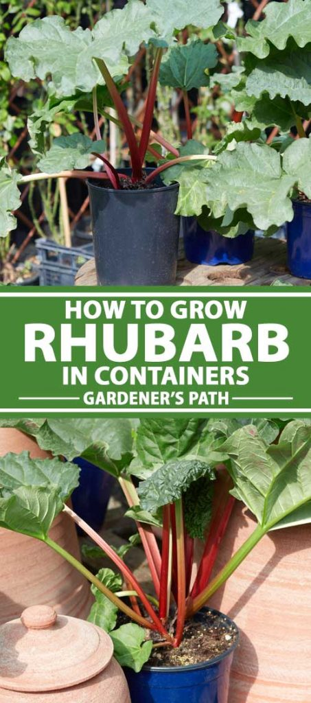A collage of photos showing different views of rhubarb growing in various pots and containers.