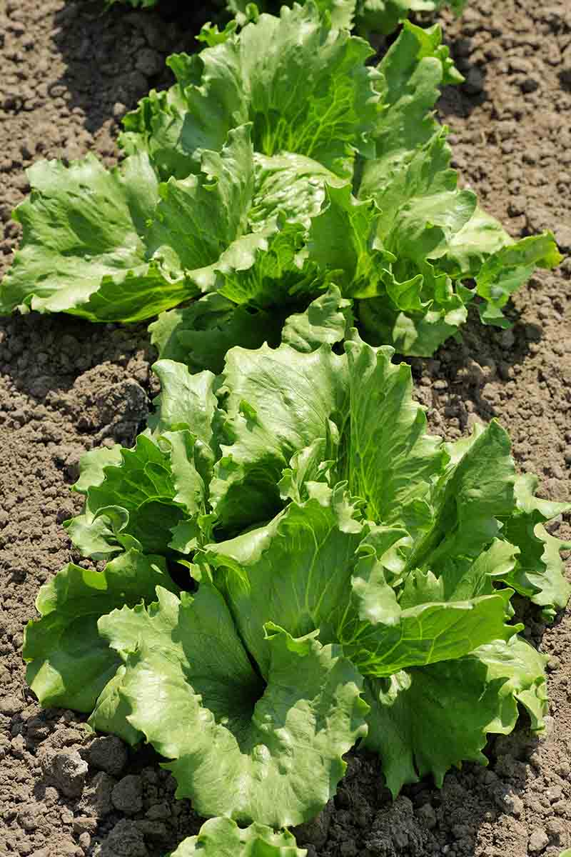 A vertical, top down picture of iceberg lettuce plants growing in a row in the garden, with soil surrounding them, shown in bright sunshine.