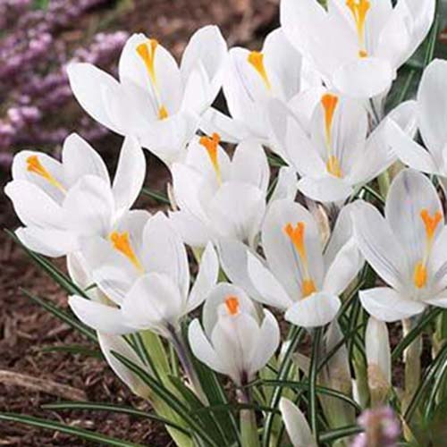 A close up of the white flowers, with orange centers of the 'Jeanne d'Arc' variety of C. vernus growing in the garden.