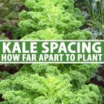 A close up vertical picture of different varieties of kale growing in neat rows in a raised garden bed. To the center and bottom of the frame is green and white text.