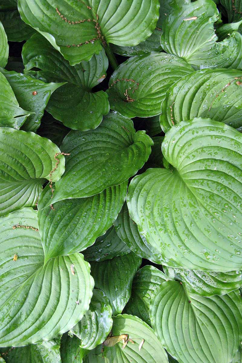 A vertical close up picture of large green leaves of the 'August Moon' variety of hosta with water droplets on them in light sunshine.