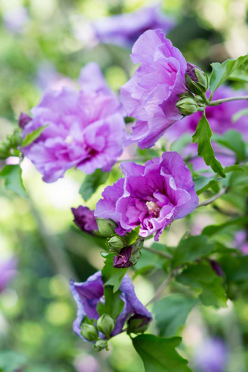 A close up vertical picture of delicate lavender colored double blooming flowers growing in the garden in light sunshine with foliage in soft focus in the background.