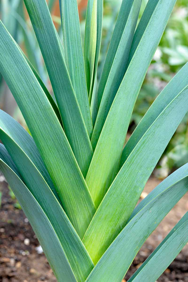A vertical close up picture of leek tops, light green upright foliage on a soft focus background.