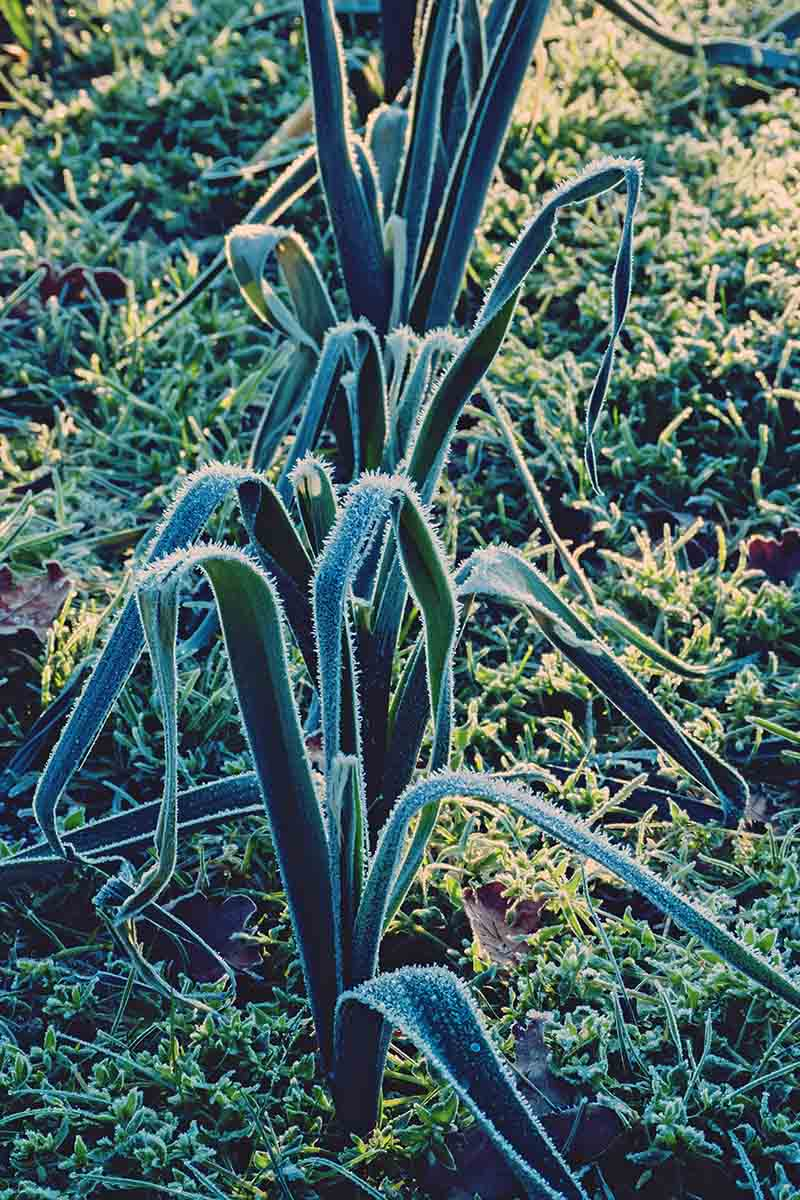 A vertical picture of leek crops growing in the garden with grass around them and a light dusting of frost on the foliage in light sunshine.