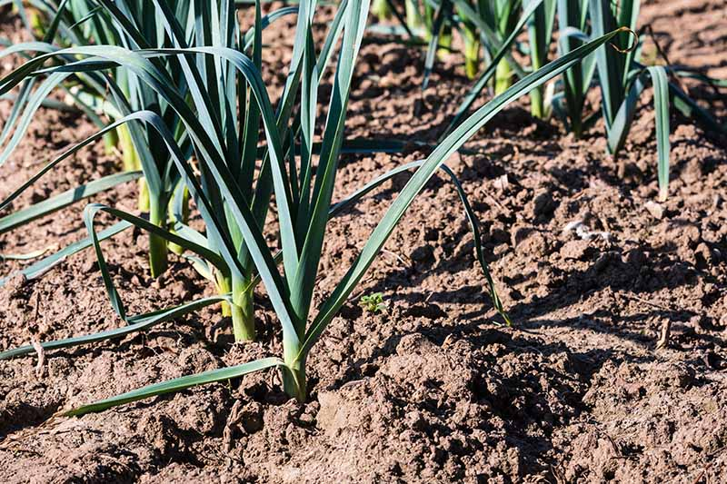 A close up of rows of leeks growing in rows in the garden showing the mounding of earth around the stalks known as blanching to keep the stems white.