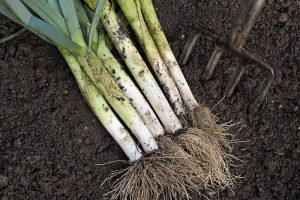 7 Tips for Harvesting Your Best Leek Crop Ever