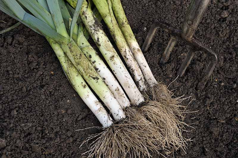 A close up of freshly dug leeks with roots and foliage still attached set on a dark soil background with a garden fork to the right of the frame.