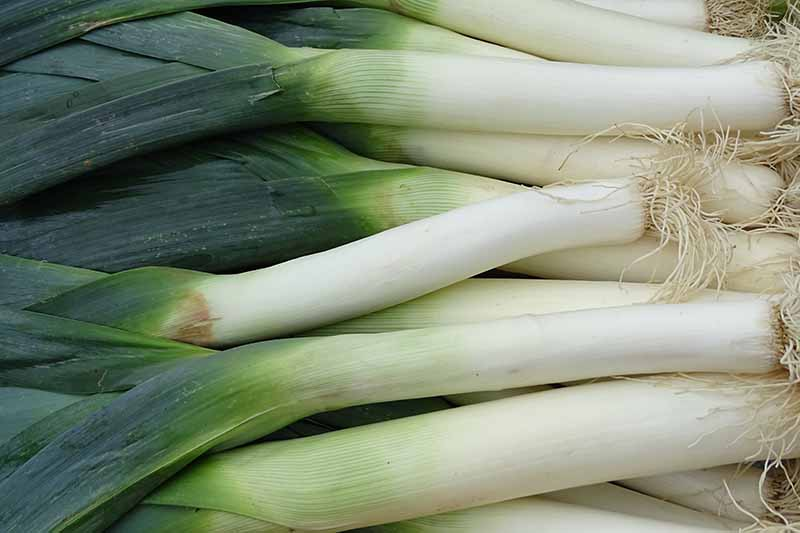 A close up of harvested leeks with white stems and dark green foliage, still with the roots attached.