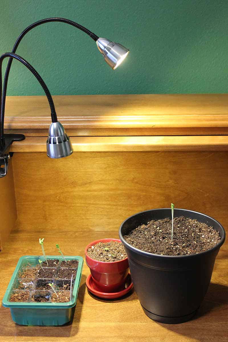 A vertical picture of a clip on grow light with two movable bulbs, with a seedling tray and two pots, one red, one black, set on a wooden surface.