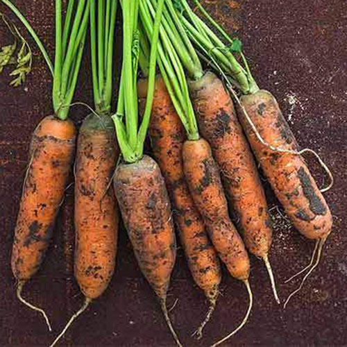 A close up of the 'Little Fingers' variety of short carrots suitable for growing in containers set on a soil background.