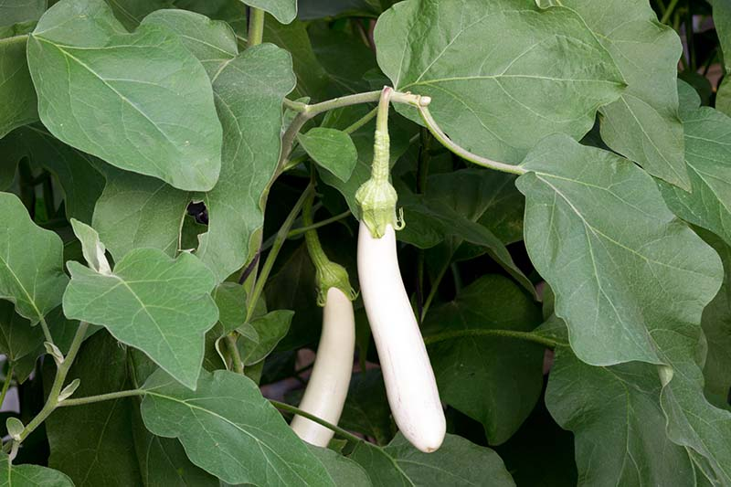 A close up of long thin white eggplants ripening on the plant growing in the garden. The creamy white fruits contrast with the dark green foliage on a dark background.