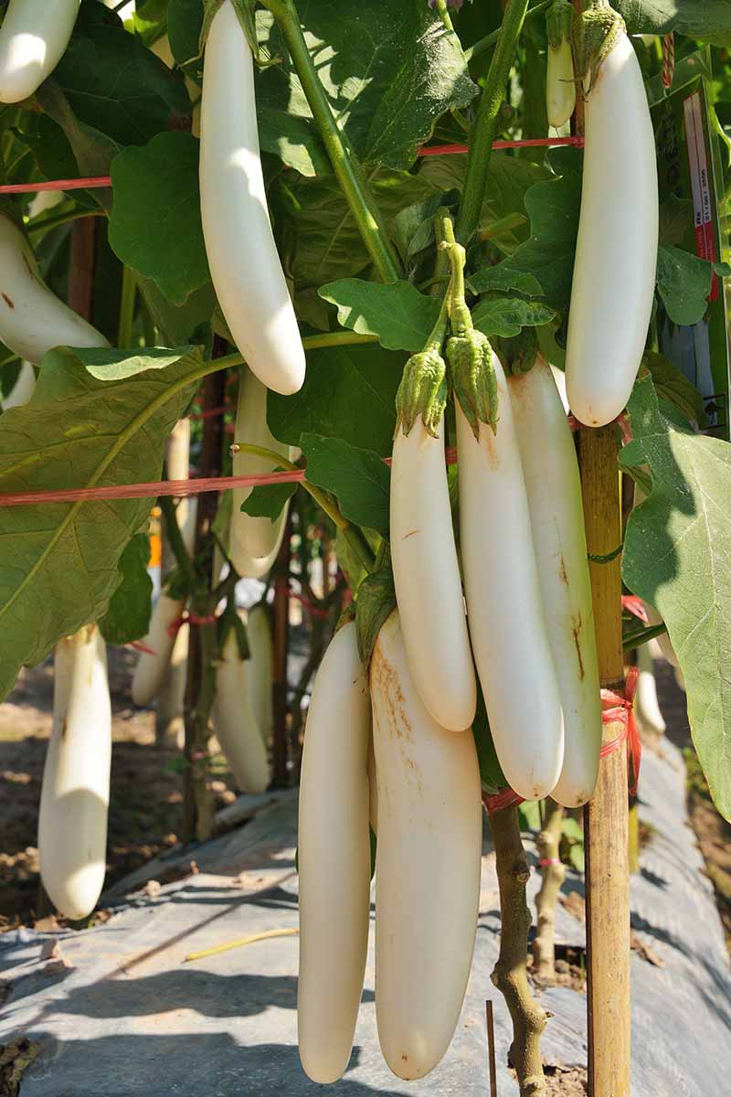 A close up vertical picture of long, thin, creamy white aubergine fruits growing in the garden in light sunshine.