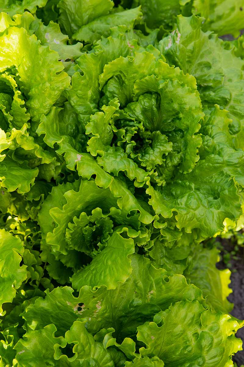 A vertical top down picture of loose leaf lettuce with bright green, slightly frilly leaves, growing in the garden.