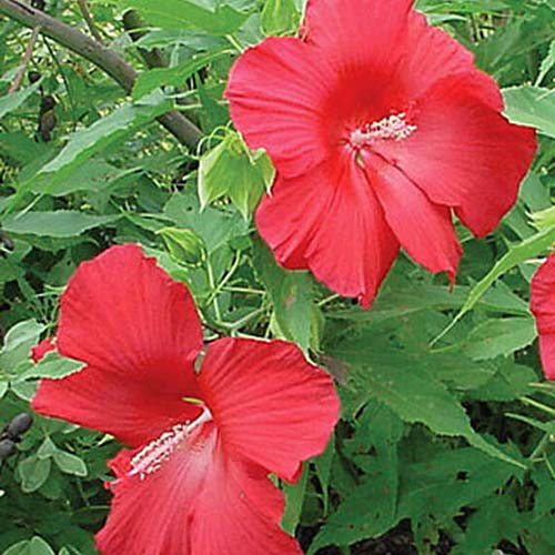 A close up of the bright red flowers of the hibiscus 'Lord Baltimore' surrounded by green foliage in light sunshine.