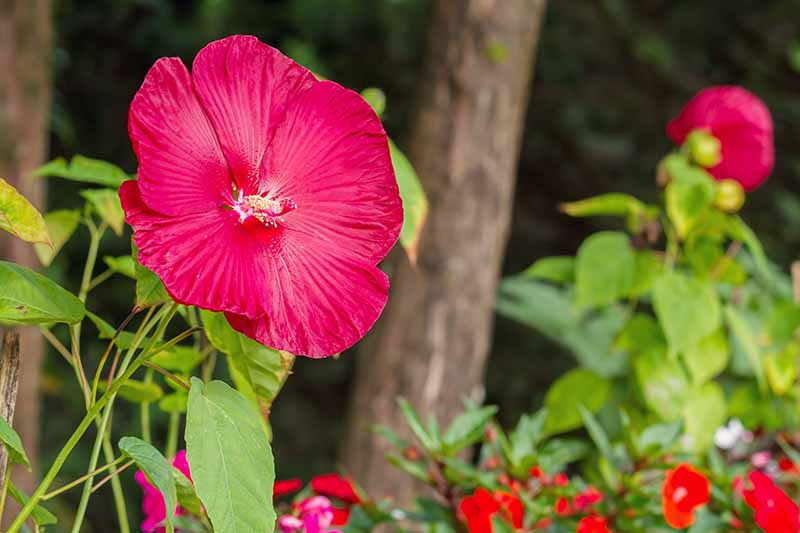 A close up of a 'Luna Red' hibiscus flower growing in the garden surrounded by green foliage on a soft focus background.