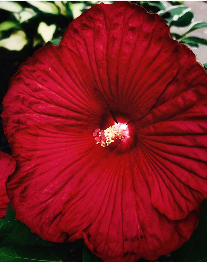 A close up vertical picture of a 'Luna Red' hibiscus flower with bright red petals, slightly ruffled at the edges on a soft focus background.