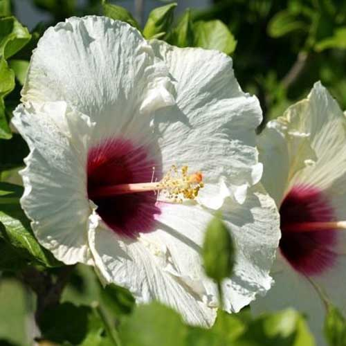 A close up of a white flower with a deep red eye pictured in bright sunshine growing in the garden on a soft focus background.