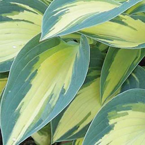 A close up of the leaves of the 'Magic Island' variety of hosta plant with yellow central areas fading to light green at the edges.