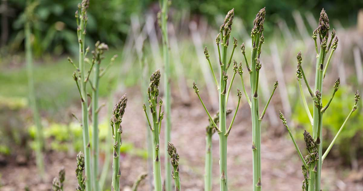 How Are Male Female Asparagus Plants Different Gardener S Path
