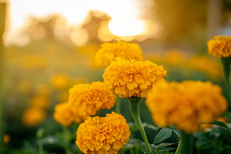 A close up of bright yellow flowers on a yellow soft focus background.
