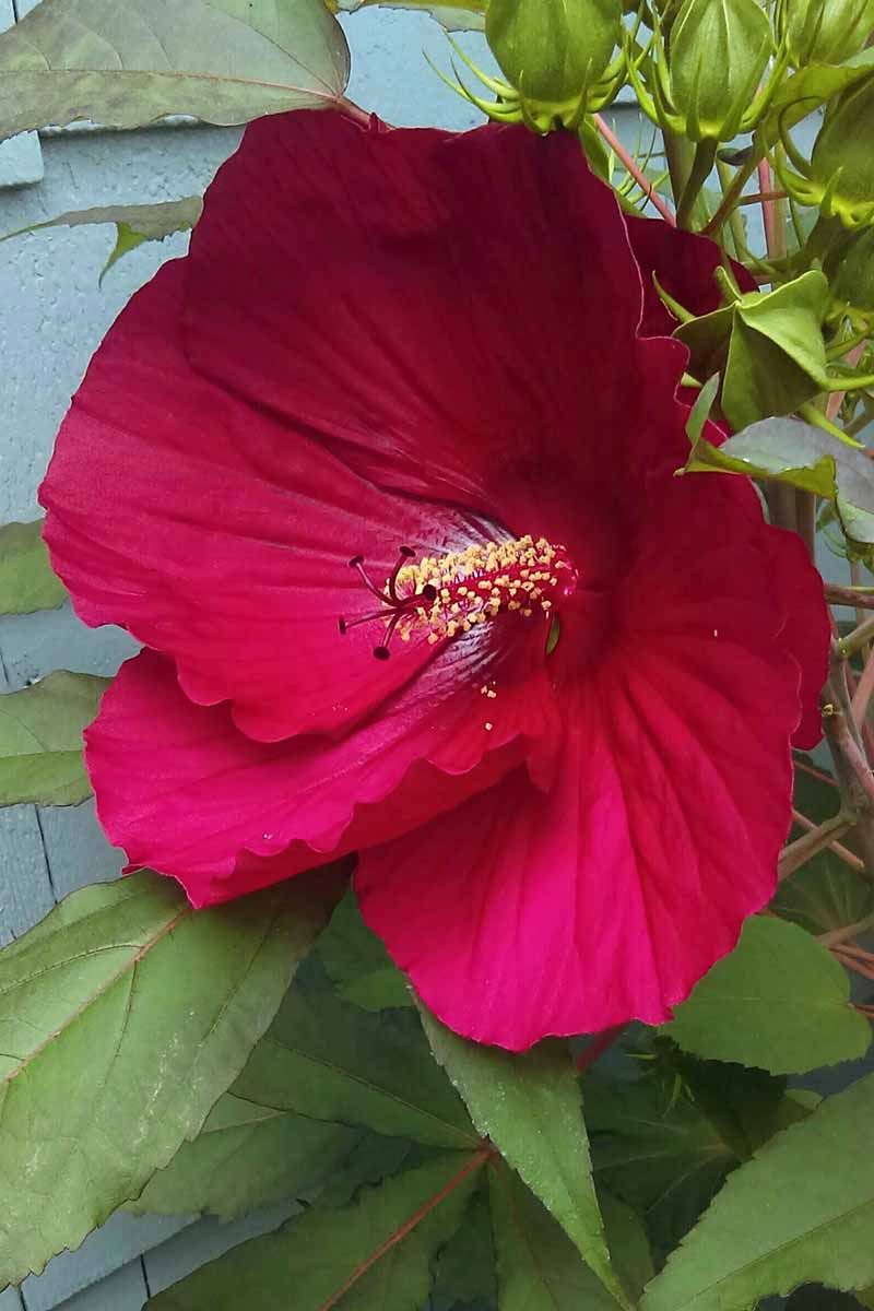 A close up vertical picture of a 'Midnight Marvel' hibiscus flower with large red petals surrounded by green foliage.