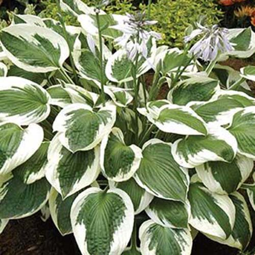 A close up of the 'Minuteman' variety of hosta with large textured green leaves and white edging, the plant has long flower stalks with small purple blooms, in the background is a garden scene in soft focus.