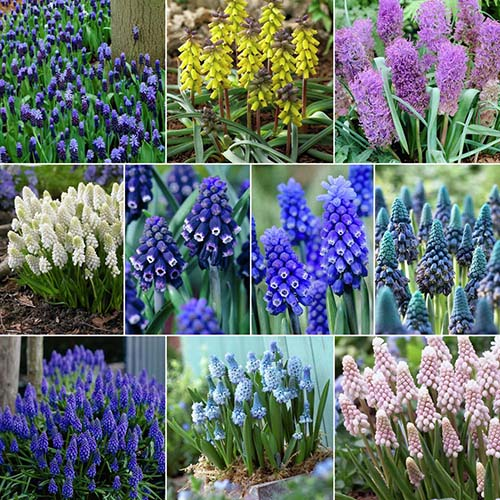 A collage picture of different colored grape hyacinth flowers, from the top left: purple, yellow, light purple, white, purple with white edging, blue with white edging, blue-green, pale purple, pale blue, and pink.