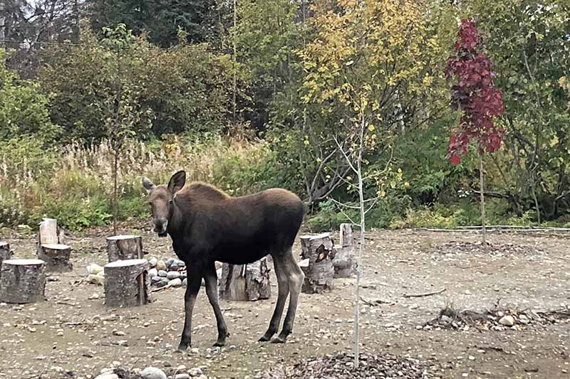 A close up of a baby moose amongst young tree saplings in an Alaskan garden with tree stumps used as stools in the background.