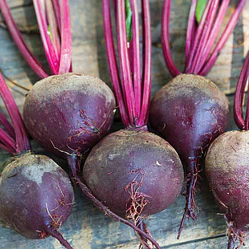 A close up of 'Moulin Rouge' variety of Beta vulgaris, with round roots and bright purple stems set on a wooden surface.