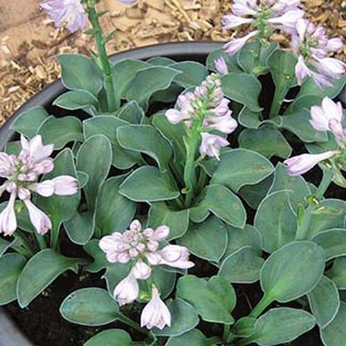 A close up of a small specimen of the 'Blue Mouse Ears' variety of hosta growing in a container with small green leaves, and purple flowers on upright flower stalks.