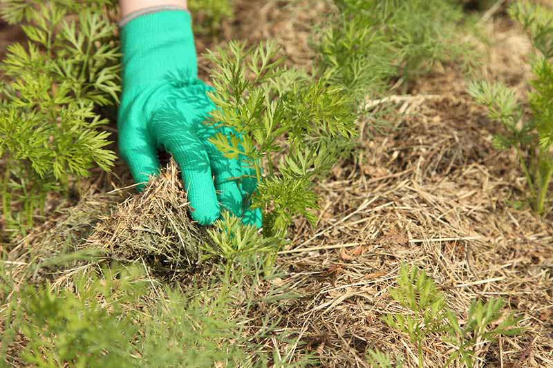 A hand from the left of the frame wearing a green gardening glove applies a layer of mulch around carrot seedlings in light sunshine.