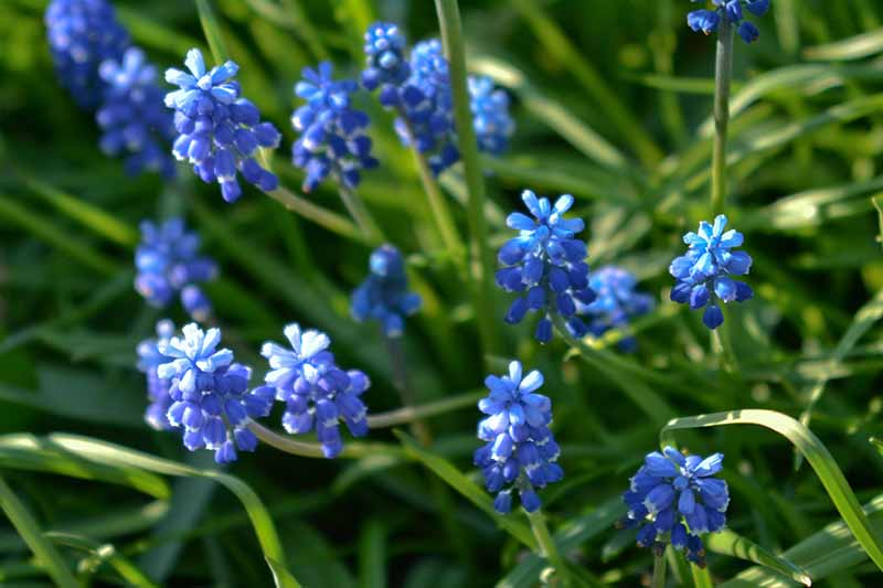 A close up of the light blue flowers of Muscari aucheri surrounded by green foliage growing in the garden in light sunshine.