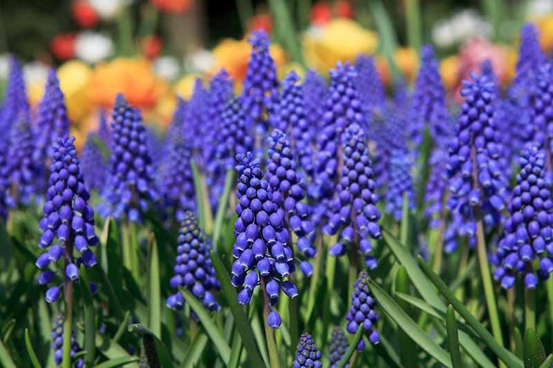A close up of the flowers of the Muscari botryoides plant in bright blue with green foliage on a soft focus background.
