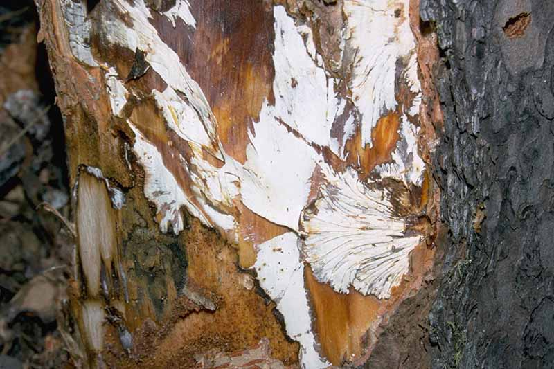 A close up of the trunk of a tree showing white fans made by the mycelia of the Armillaria fungus.