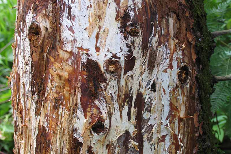 A close up of the trunk with the bark removed showing the tell-tale white markings of the mycelial mats that indicate it has been infected with the Armillaria fungus.