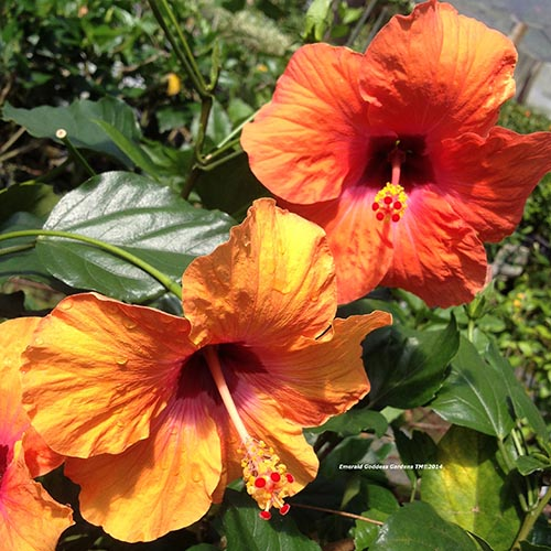 A close up of the bright orange and red flowers of the 'Nairobi' cultivar of H. rosa-sinensis pictured in bright sunshine surrounded by green foliage.