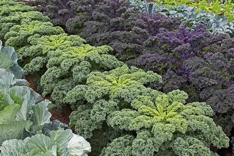 Neat rows of large, mature kale plants, intercropped with cabbage and other vegetables. In the center of the frame is a light green curly variety, and to its right a large purple variety.
