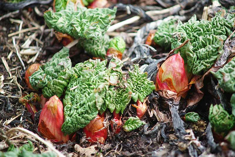 A close up of recently planted rhubarb crowns sprouting new leaves in the springtime surrounded by rich soil and leaf mulch.