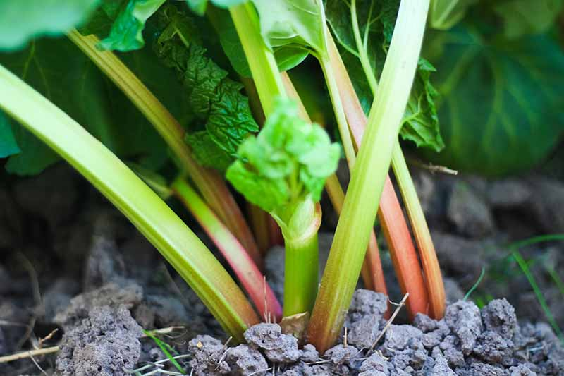 A close up of new growth on a rhubarb stalk that has been cut back for harvest, surrounded by mature stalks and foliage and fading to soft focus in the background.