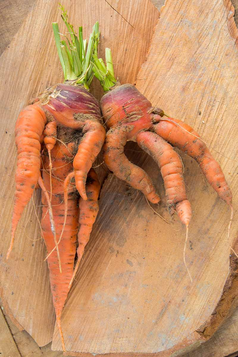 A vertical close up of two freshly harvested deformed carrots with the roots intertwined and folded over, set on a wooden surface.