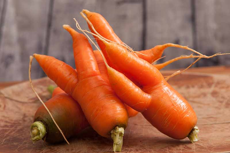 Three oddly-shaped, deformed carrots washed and tops removed set on a wooden chopping board on a soft focus background.