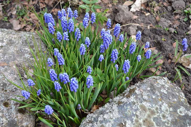 A top down close up of a clump of grape hyacinth plants with blue flowers and bright green upright foliage growing between two rocks with soil in soft focus in the background.