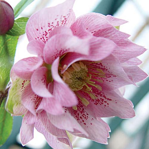 A close up of a flower of the 'Phoebe' variety of double hellebore, with light pink petals that have deeper pink spots running through them, on a soft focus background.