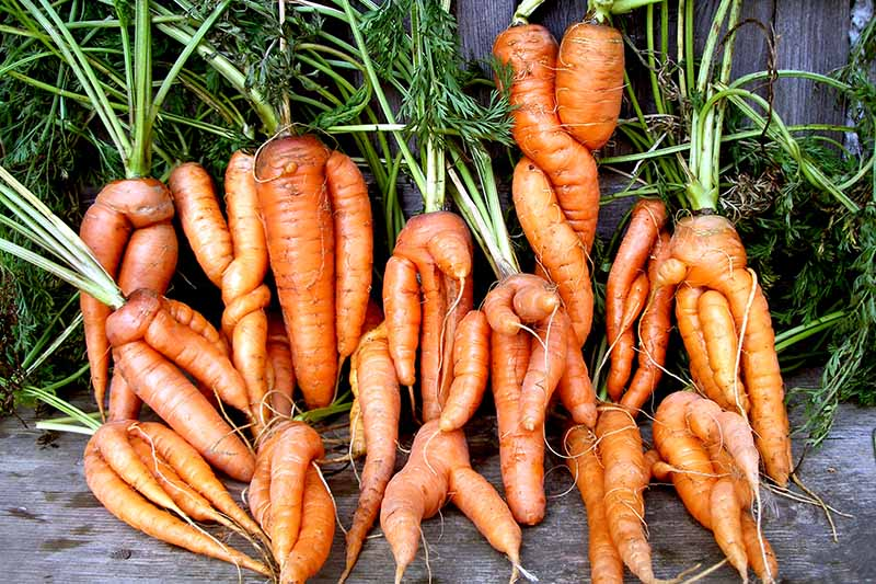 A close up of a collection of deformed carrots in various shapes and sizes, none of the roots perfectly straight, set on a wooden surface.