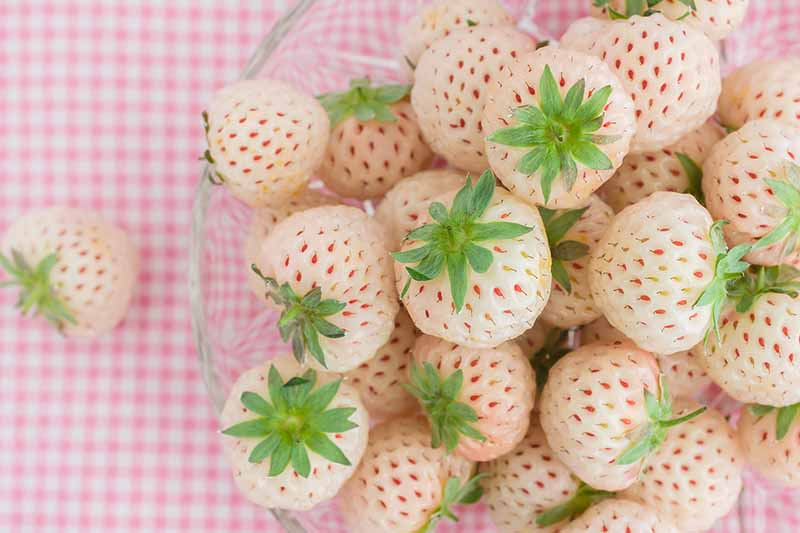 A close up of the harvested fruits of the 'Pineberry' strawberry plant which are creamy white with small pink spots, in a glass bowl set on a pink checked surface.