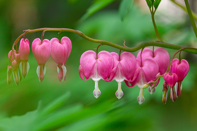 A close up of pink bleeding heart flowers growing from a branch in the garden on a soft focus green background.