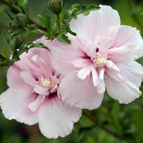 """2 hibiscus tip and 1 hardwood cuttings double ruffled /""""Pink Chiffon/"""""""