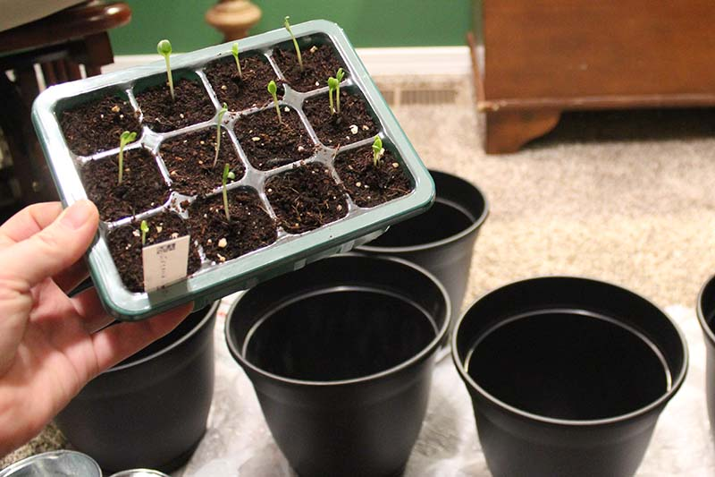 A hand from the left of the frame, holding a small seedling tray with small seedlings just starting to germinate, in front of four black plastic pots, ready to start the process of transplanting.